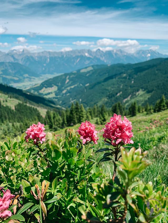Alpenrosen an Leos Spielewanderweg